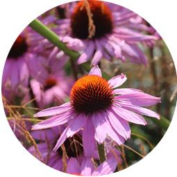 Jeżówka purpurowa (BIO)